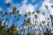 Palm Grove In Kaunakakai, Island Of Molokai, Hawaii