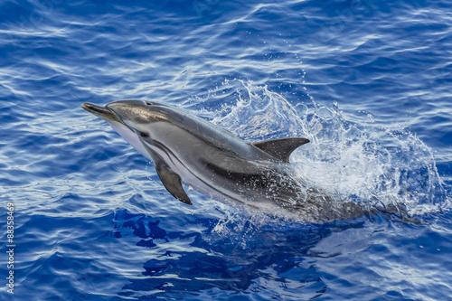 Striped dolphin (Stenella coeruleoalba) leaping out of sea