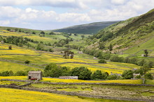 Summer Buttercups In Upper Swaledale Near Thwaite, Yorkshire Dales, Yorkshire