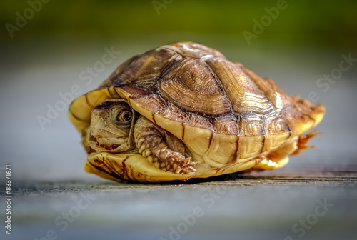Poster Tortue Turtle Hiding in Shell