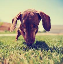 A Wiener Dog Dachshund Dog Playing With A Tennis Ball (SHALLOW DOF)