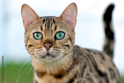 Brown spotted Bengal Cat with aqua colored eyes Canvas Print