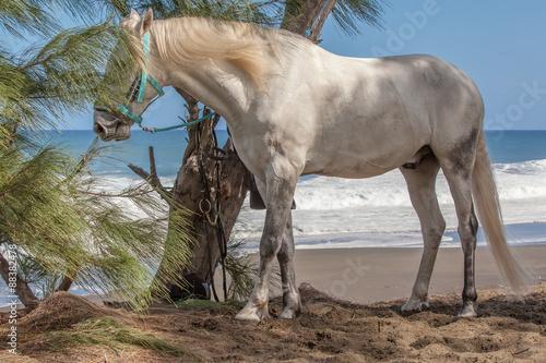 Obraz w ramie cheval blanc sur plage