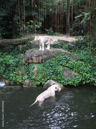 Photo  White Tiger at Singapore Zoo