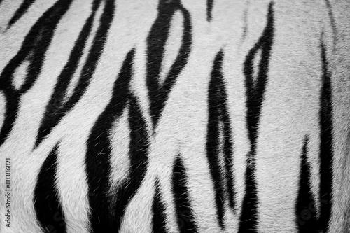 Canvas Prints Zebra beautiful tiger fur - colorful texture