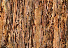 Close Up Of Redwood Bark