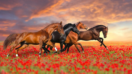 Group of four horses run gallop in poppy field against sunset sky