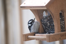 Bird On Feeder - Woodpecker