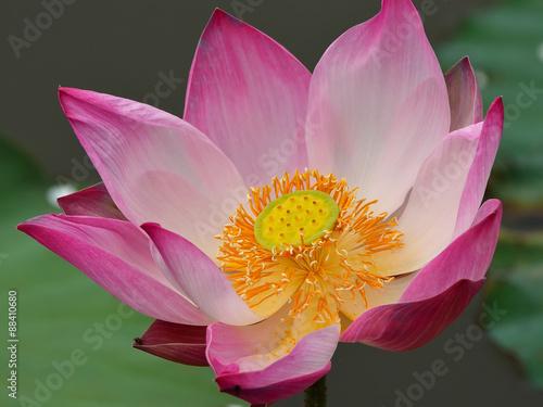 Staande foto Lotusbloem Lotus flower