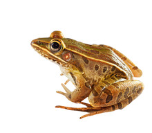 Sitting Southern Leopard Frog ...