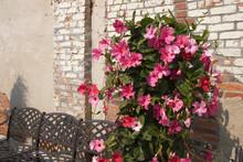 Pink Mandevilla Blooming