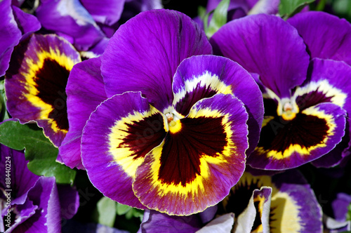 Spoed Foto op Canvas Pansies Purple and yellow pansy flowers