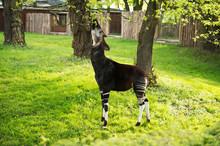 Okapi Eats Leafs From Tree