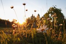 Wildflowers At Sunset