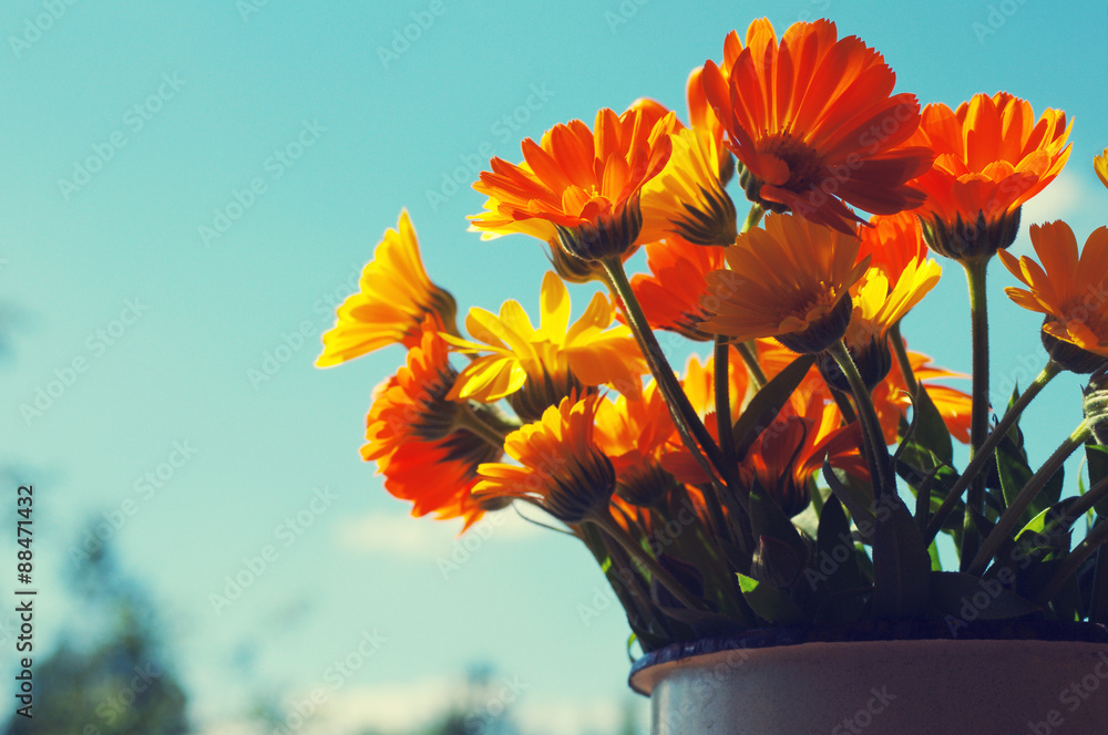 Fototapety, obrazy: Yellow summer flowers against the sky. Bouquet from a marigold. Calendula flowers. Festive bouquet in vintage style
