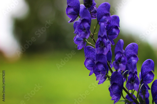 aconite flowers on a summer meadow Canvas Print