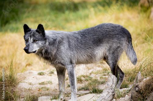 Papiers peints Loup Loup noir Timberwolf