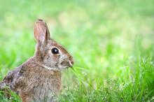 Cute Cottontail Bunny Rabbit M...