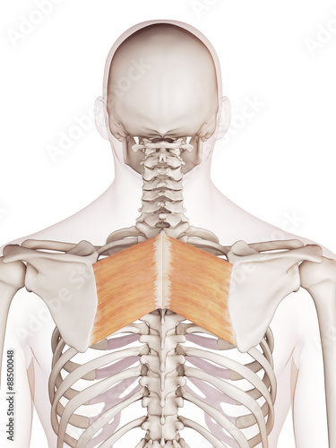 Fotografía medically accurate muscle illustration of the rhomboid major