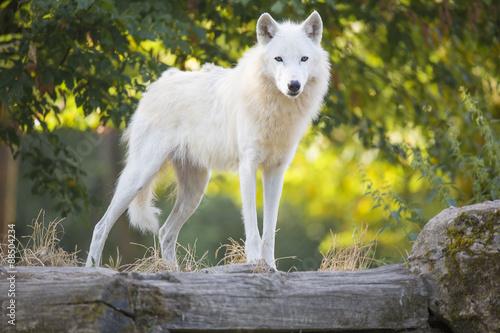 Papiers peints Loup Loup artique