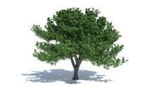 3d Illustration Of An Oak Tree