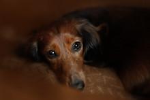 Longhair Dachshund Puppy Lying...