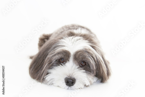 Photo  A cute black and white long hair dog lying down.
