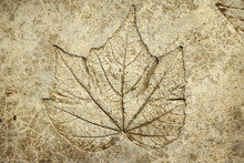 Leaf Print On Concrete Texture...