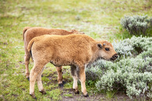 American Bison Baby Calf
