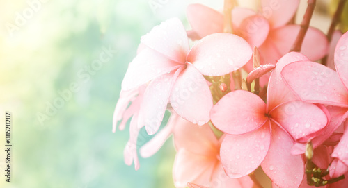 Photo Stands Plumeria Pink Plumeria