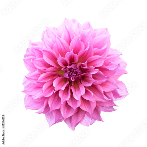 Deurstickers Dahlia Pink Dahlia Isolated
