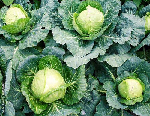 Fotografia Cabbage
