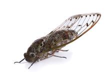 Cicada Isolated On White