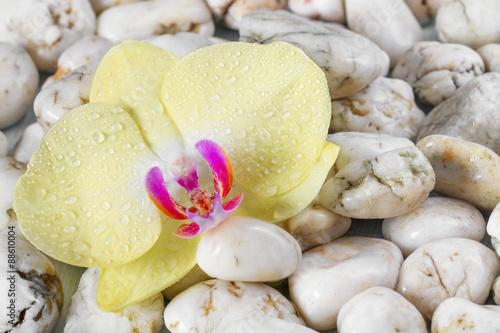 zolta-orchidea-na-otoczaka-tle