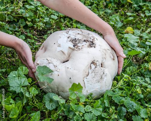 Fotografie, Obraz  Giant puffball is edible and medicinal mushroom
