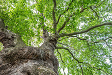 Plane Tree And Trunk