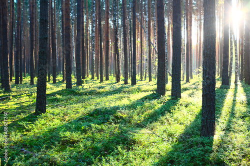 Photo  Sunrise in pine forest