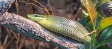 Green Rat Snake Coming Down