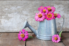 Zinnia Flower In Watering On A Wooden Background