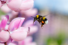 Bumblebee Flying And Pink Flower