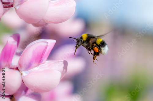 Canvas Bumblebee flying and pink flower