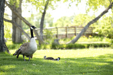 Mother And Baby Geese On The Green Grass