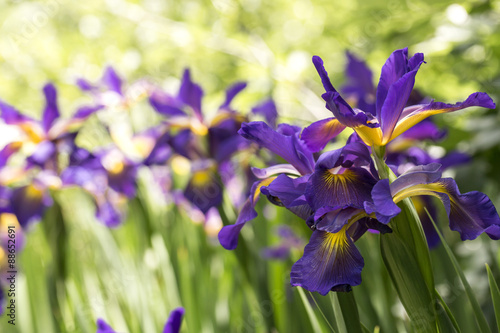Foto op Plexiglas Iris Purple Iris in full bloom
