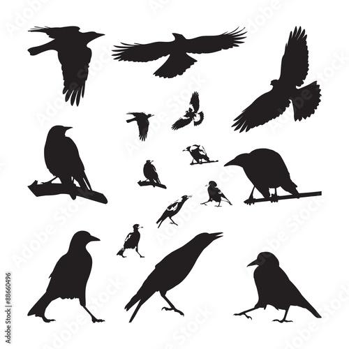 Fotomural Australian Magpie Silhouettes Set