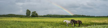 Two Horses On The Meadow And Rainbow On The Background.