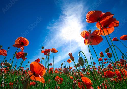 Canvas Prints Poppy Poppy flower