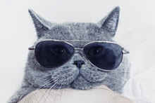 Funny Muzzle Of Gray Cat In Su...
