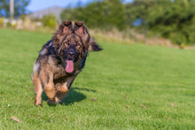 German Shepherd Dog Running Towards Camera On Grass