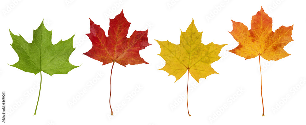 Fototapety, obrazy: Basic_Maple_Leaves