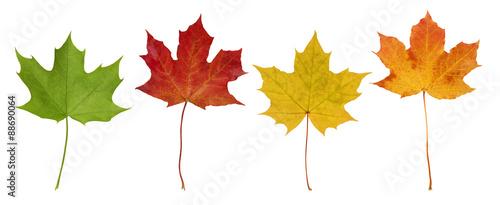 Fotografie, Obraz  Basic_Maple_Leaves